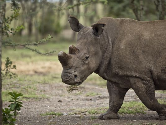 female-white-rhino