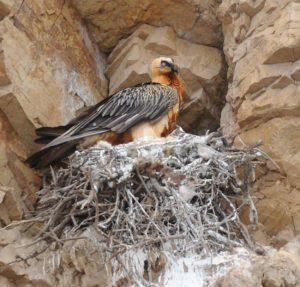 The nesting bearded vulture  spotted by rangers in the Caucasus Wildlife Refuge.
