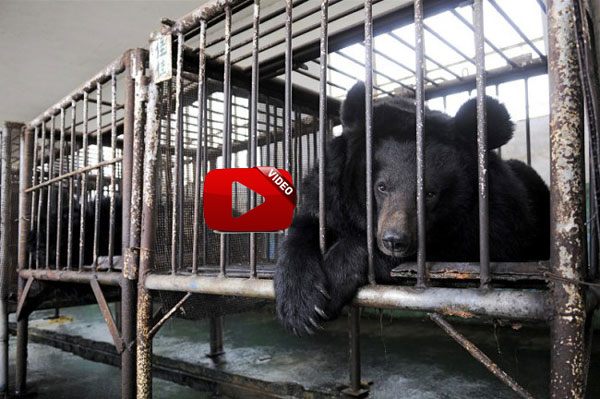 Imprisoned Bears of Armenia FPWC