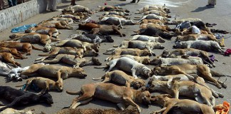 Dozens of dogs killed in Pakistan February 2015